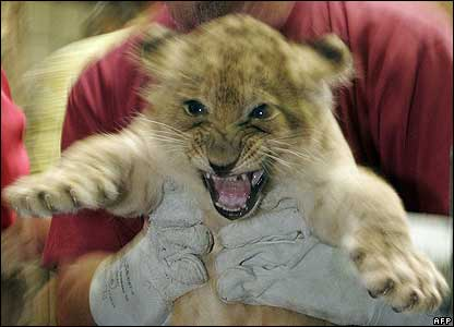 A baby lion being examined at