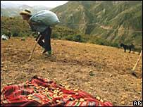 Un campesino boliviano durante la cosecha de papa