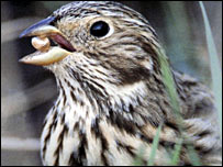 Corn bunting (Pic: RSPB Images)