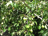 Ukrainian pears being grown at Brogdale
