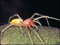 Yellow sack spider