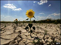Un girasol en un suelo seco.