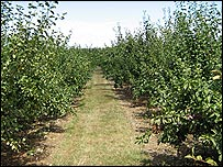 Rows of fruit trees at Brogdale Farm