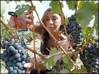 A woman harvests grapes in France's Bordeaux region