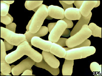 Bifidobacteria (Scimat/Science Photo Library)