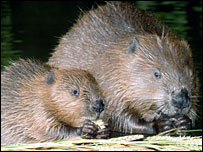 Baby beaver and an adult