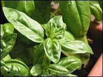 Basil plant (archive)