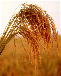 Long-grain rice  Image: USDA