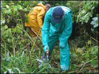 Japanese Knotweed poisoning. Picture: National Trust