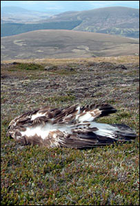 Dead golden eagle at Glenfeshie