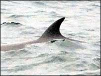 Fin Whale seen off Pembrokeshire coast (Photo copyright Janet Baxter)