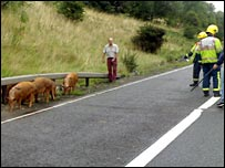 Pigs on the M6 near Rugby  - pic from WNAA