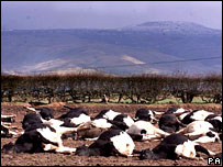 Cows slaughtered in Cumbria during the UK's 2001 foot and mouth outbreak