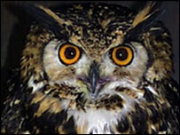 Mackinders Eagle Owl, copyright: www.screechowlsanctuary.co.uk