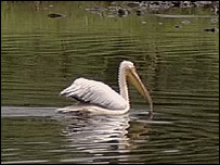 Bill the pelican on the River Ribble