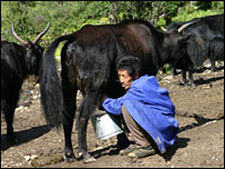 A man milking a dri