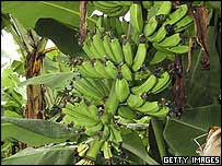 Bananas on a tree
