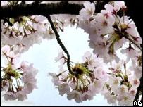 Cherry blossom (Image: AP)