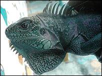 Iguana verde hallada en Galápagos