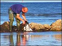 Dermot harvesting seaweed