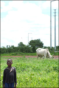 A Chadian boy grazes a cow near an oil field