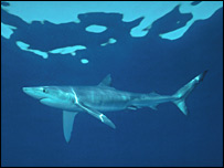 Blue shark (JSD/Shark Alliance)