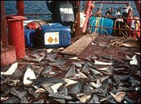 Shark fins on a boat (Enric Sala)