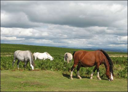 Ponies grazing on Cefn Bryn on Gower with the Black Mountains in the background  (Tony James)