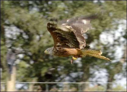 Sion Jones snapped this shot of a Red Kite at Gigrin Farm near Rhaeadr