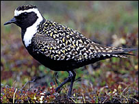 American golden plover (Pic: RSPB Images)