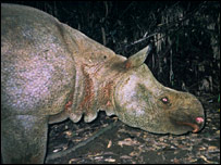 File picture of rare Javan rhino in Indonesia's Ujong Kulon National Park