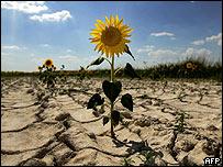 Girasoles crecen en tierra seca cerca de Cuenca, España