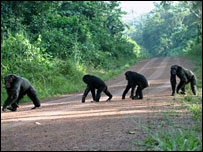 Chimps crossing the road