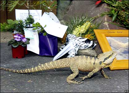 Lizard walking past tributes to Steve Irwin