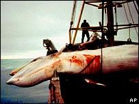 Minke whale hauled aboard ship.  Image: AP