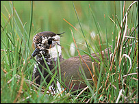 Lapwing   Image: RSPB
