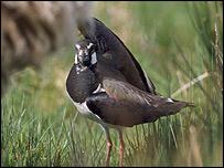 Lapwing  Image: RSPB