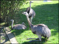 The three South American rheas