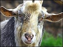 Según el suizo, la culpa fue de la ausencia de cabras.