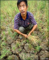 Farmer in rice field.  Image: AP