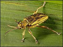 The donacia bicolora beetle. Photo: Roger Key