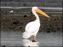 River Tay pelican