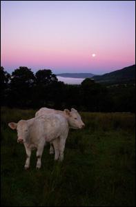 Cows in moonlight