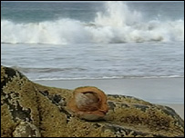 A coconut which was found on a Tiree beach