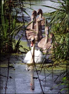 Swans lining up at the Magor Wildlife reserve, as taken by Justin Crook