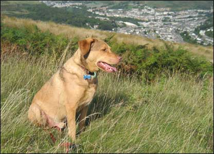 Kathryn Holman's dog Bono on the mountain overlooking Porth, Rhondda