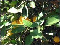 Orange tree at the Fazenda Santa Maria, Analandia