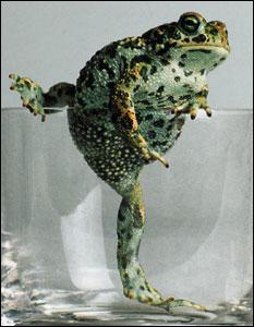 Natterjack Toad taken for Vogue, 1985 (Photo: Snowdon)