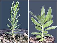 Liparia villosa and Protea conocarpa (from RBG Kew)