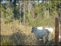 Cattle and rainforest.  Image: BBC